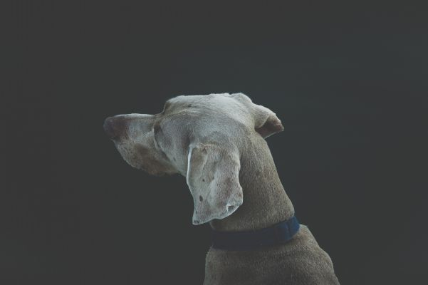 Photo of a dog looking left.